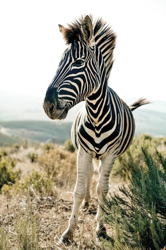 africa_zebra_ColetteDeBarros_900
